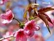 野樱花竞相绽放 为木江界山林渲染春天色彩