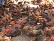北江省着力打造安世山鸡品牌