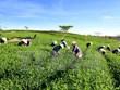 越南对巴基斯坦茶叶出口额达逾3900万美元