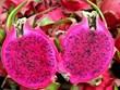 越南红心火龙果征服澳洲市场