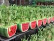 春节即将来临  太平省富贵竹种植户忙碌准备供货