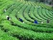 太原省将茶叶产业发展成为经济优势