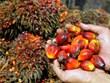 印度降低对来自东盟国家的棕榈油进口税