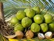 越南槟知省椰子果价格暴跌