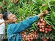 越南荔枝打入日本市场的机遇莫大