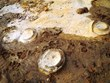 越南发现距今约2亿年的菊石化石