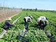 2025年河内农民年人均收入将增至8000万越盾
