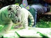 孟加拉白虎在越南成功繁殖