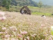 河江省——荞麦花盛开的季节