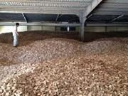 2015年前10个月越南木薯出口总额逾10亿美元