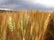 越南暂停从乌克兰进口小麦