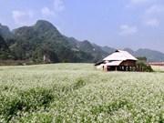 越南山罗省木州高原白油菜花深深吸引游客眼球