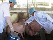 越南首次成功研制猪蓝耳病疫苗
