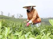 2015年越南出口茶叶约13万吨
