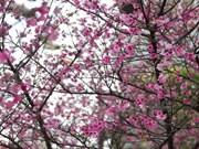 日本樱花节首次在胡志明市举行
