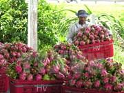 越南火龙果出口将猛增