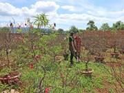 越南各地花农做好花卉培育工作为春节花卉市场提供服务(组图)