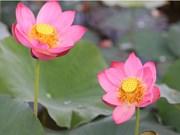 越南国花——莲花之美(组图)