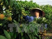 越南加大荔枝出口中国力度