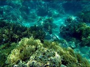 越南芽庄湾努力修复珊瑚礁生态环境 促进潜水旅游发展