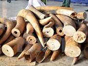 胡志明市海关分局查获逾700公斤走私象牙藏匿在空心树干中