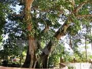 河静省一棵榕树被列入越南文化历史遗迹树名单
