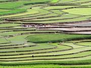 越南西北部梯田迎来引水节(组图)