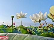宁楚荷塘的珍稀莲花(组图)