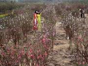 河内市郊区的花村洋溢着浓浓的春意(组图)