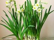 水仙花——河内春节的一股风味