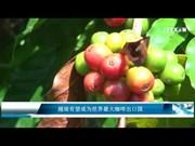 越南有望成为世界最大咖啡出口国