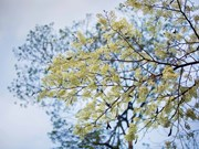 梦幻白的河内黄檀树花