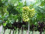 宁顺省农民采用越南良好农业规范  种植葡萄致富