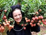 北江省陆岸荔枝品牌在7个国家受到保护