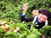 安沛省木江界居民依靠种植栘𣐿果树摆脱困境