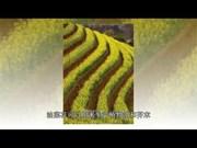 木江界梯田迷人的油菜花色