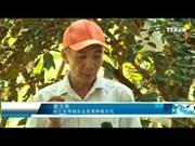10年来越南努力为金星果打开出口市场