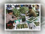越南谅山省迎来番荔枝丰收季 农户采摘忙