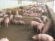 畜禽肉进口量增加尚未影响到越南畜牧业