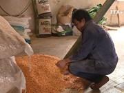 越南从印度的玉米进口量猛增