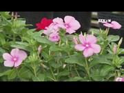 同塔省沙沥村为己亥春节增供100万个花篮