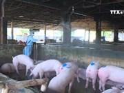 承天顺化省多管齐下主动预防非洲猪瘟疫情感染
