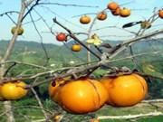 甜脆柿子改变乡村面貌   推动谅山省新农村建设