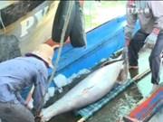 越南金枪鱼出口量迅速增长