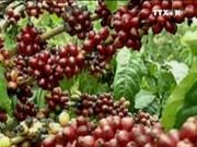 越南咖啡对阿尔及利亚出口量剧增