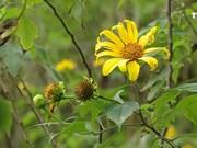 巴维国家公园肿柄菊盛开 吸引大量游客前来参观