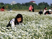 组图:在宁平和南定两省的洁白雏菊花园吸引诸多游客的喜爱