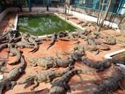 组图:越南北部规模最大的鳄鱼养殖基地