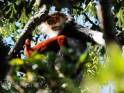 组图:红腿白臀叶猴被誉为岘港市山茶自然保护区 灵长类动物之王
