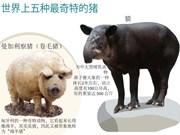 图表新闻:世界上五种最奇特的猪